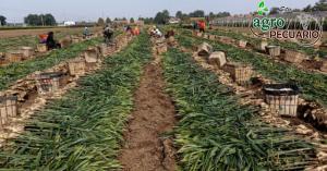 Lee más sobre el artículo ¿Quiénes son los principales países productores de jengibre?