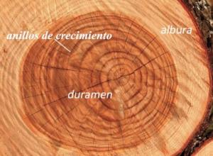 Tipos de tallos, estructura interna