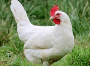 razas de gallinas ponedoras