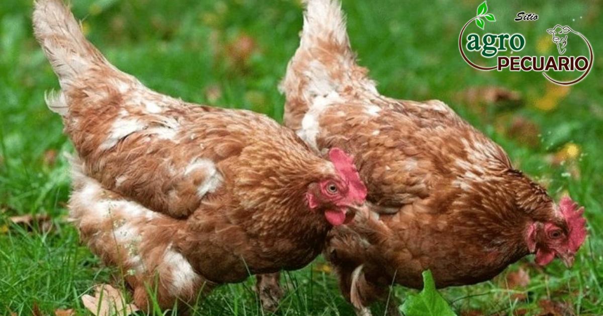 Lee más sobre el artículo Las mejores razas de gallinas ponedoras para criar en una granja casera